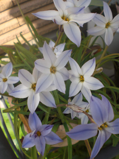 springStarFlower02.jpg