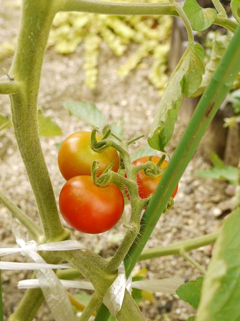 tomato06.jpg