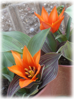 tulip07.jpg