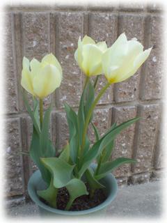 tulip08.jpg