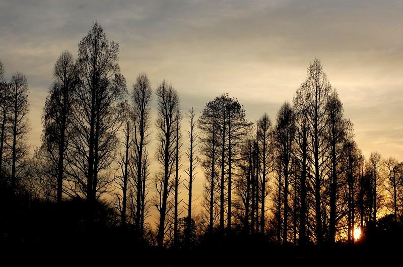 夕日と針葉樹3