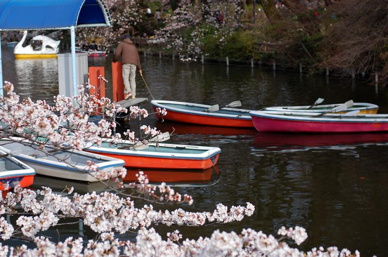 井の頭池桜5