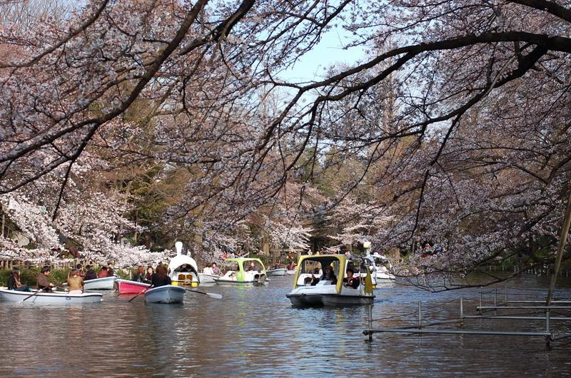 井の頭池桜3
