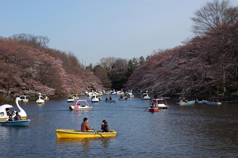 井の頭池桜1