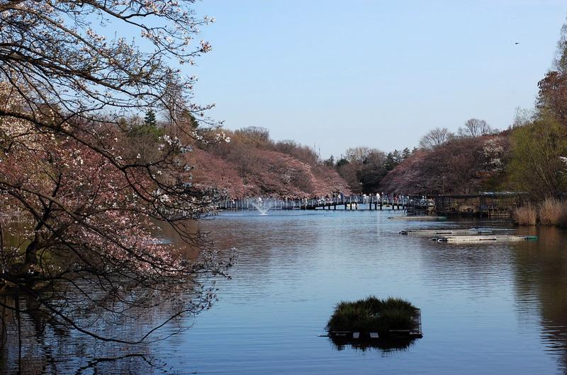 井の頭池桜2