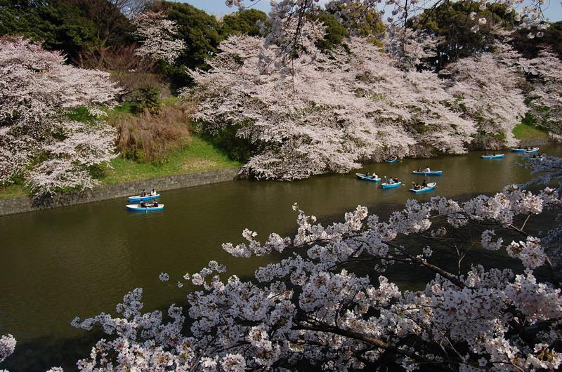 千鳥ヶ淵桜1