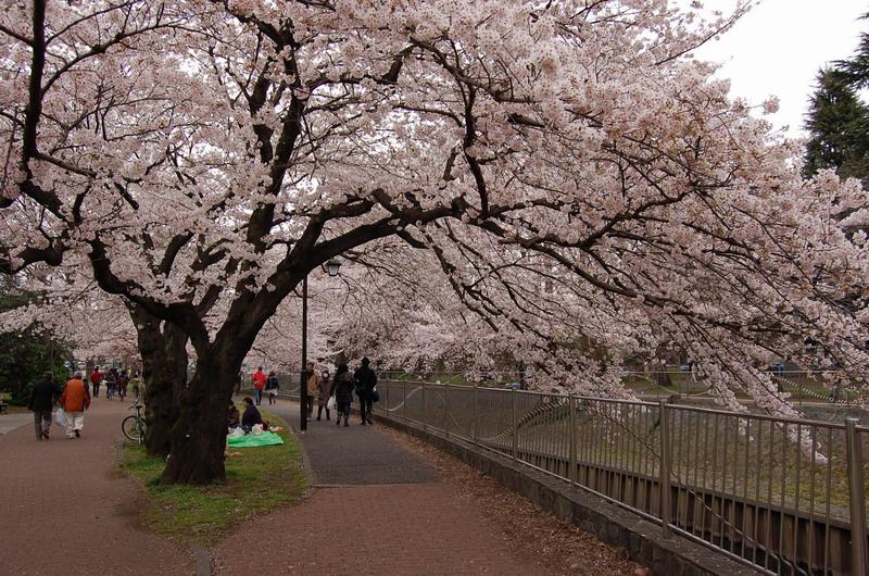 善福寺川緑地桜1