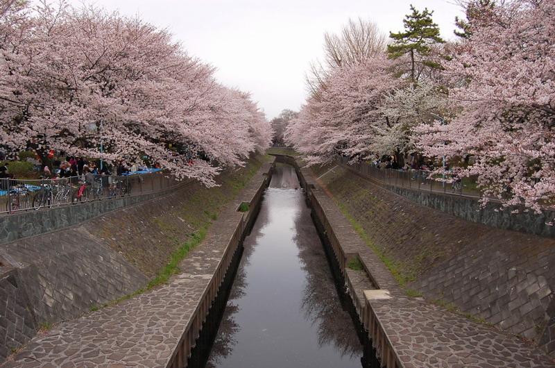 善福寺川緑地桜5