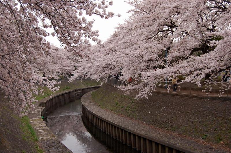 善福寺川緑地桜3