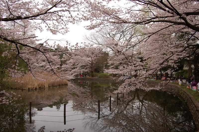 善福寺公園桜4