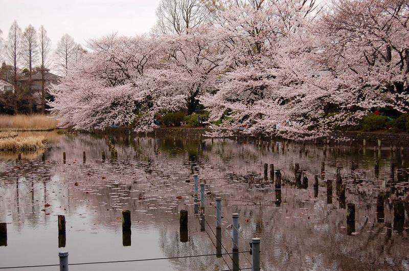 善福寺公園桜3