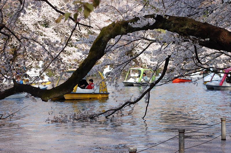 井の頭桜9