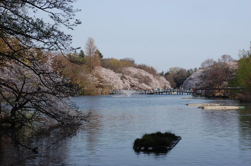 井の頭桜7