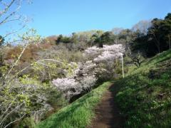 萩の茶の桜