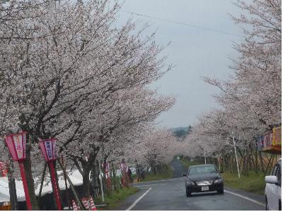 牧場の桜10年