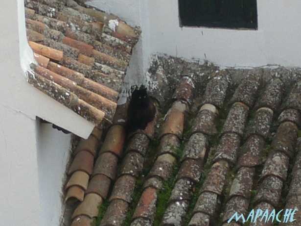 0602P1010458Chinchon gatoチンチョン猫