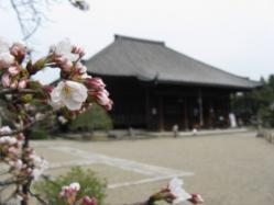 桜と西大寺