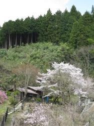 里の桜 石老山