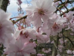 桜サク 石老山