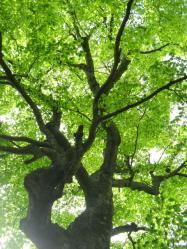 ブナ巨木 三頭山