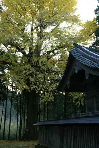 国吉神社いちょう