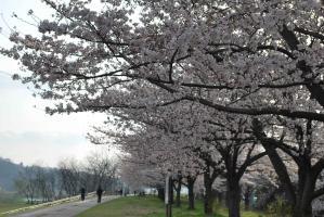 10.4.6桜