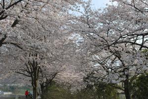10.4.6桜2