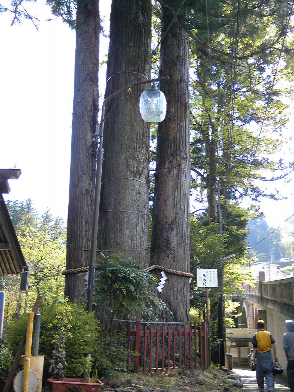 巨大な三本杉