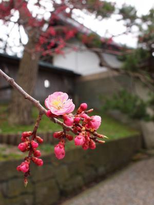 19.松前城の桜