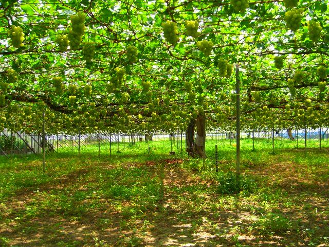 収穫始めのロザリオビアンコです。