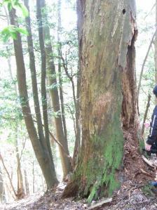 枯れたモミ大樹 クリックで拡大