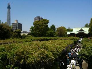 亀戸天神とスカイツリー1
