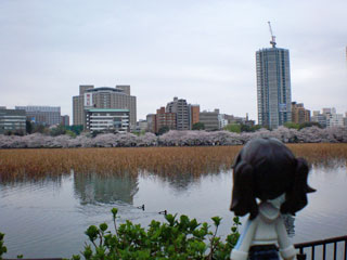 不忍池越しの桜並木