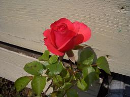 諦めかけた薔薇の開花