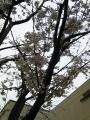 402昭和音大桜4
