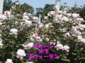 2010601Tue生田緑地ばら苑22