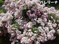 2010601Tue生田緑地ばら苑44