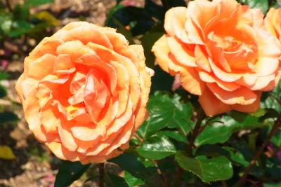 100522-rose01