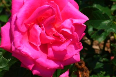 100522-rose03