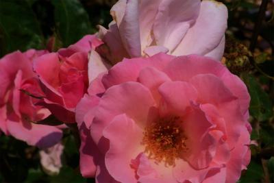 100522-rose04