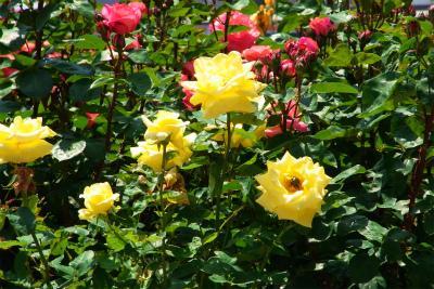 100522-rose05