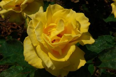 100522-rose08