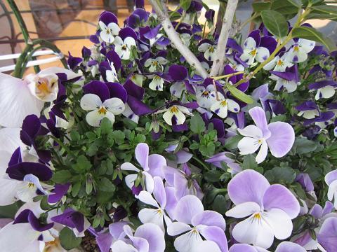 淡紫パン爺も
