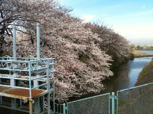 多摩川さくら1