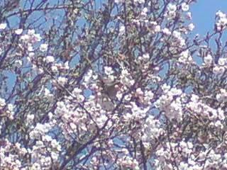20100501 桜満開