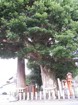 タブの木 3