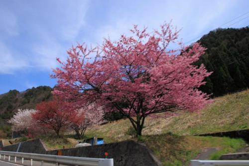中央西線と名残の桜 2-3