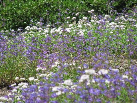 バニーフラットの花