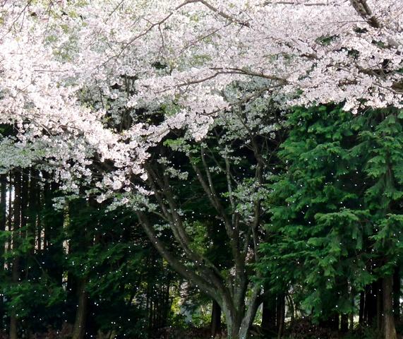 2010_4-11富士宮の桜 099