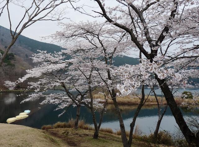 2010_4-11田貫湖の桜 131